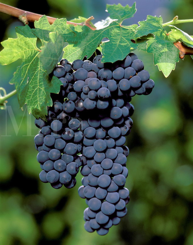 A beautiful cluster of ZINFANDEL WINE GRAPES ripen in the sun