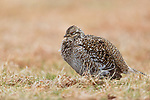 Sharp-tailed grouse sleeping on a lek in the Namekagon Barrens.