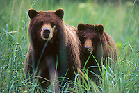 A brown bear cub draws close to it's mother as they come near visitors at the Stan Price State Wildlife Sanctuary on Admiralty Island in southeast Alaska. Tongass National Fores