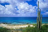 candle cactus on west coast of Bonaire Netherland Antilles (Dutch ABC Islands) (Caribbean, Atlantic)