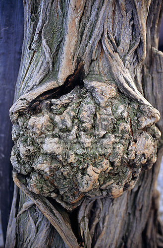 Czech Republic. Burr deformity on the trunk of a tree with very distinctive deeply figured bark.