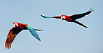 Pair of Red-and-Green Macaws or Green-winged Macaws (Ara chloropterus) in flight. Chapada dos Guimaraes, Brazil.
