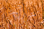 Wheat fields in Sequim, Washingtion, whichs hosts an annual Lavender Festival in mid July.  Hay farming, dairies, Olympic National Park, Dungeness Spit, and Wolf Haven are additional attractions.  Recreation is endless.  Macro. Olympic Peninsula