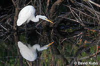 0111-0938  Great Egret Wading in Water Hunting for Prey, Ardea alba  © David Kuhn/Dwight Kuhn Photography.