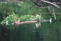A Beaver feeds on a fresh branch.