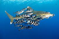 oceanic whitetip shark, Carcharhinus longimanus, with a school of pilot fish, Naucrates ductor, Daedalus Reef, Egypt, Red Sea, Indian Ocean
