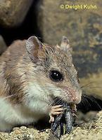 MU32-005z  Northern Grasshopper Mouse - eating grasshopper - Onychomys leucogaster
