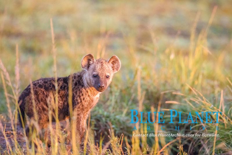 Spotted hyena cub (Crocuta crocuta) standing in grass, Masai Mara National Reserve, Kenya, Africa