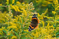 Red Admiral (Vanessa atalanta) sips on September goldenrod nectar along shoreline of Lake Erie, Ontario, Canada..