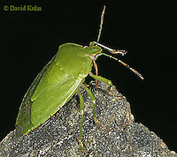 1007-06yy  Green Stink Bug - Acrosternum hilare - © David Kuhn/Dwight Kuhn Photography
