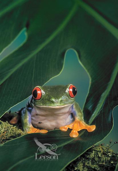 Red-Eyed Tree Frog/Red-Eyed Leaf Frog (Agalychnis callidryas), native to Central America. Captive..