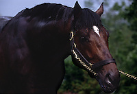 Portrait of stallion at Ashford Stud Farm