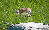 1222-1002  Goitered Gazelle (Black-tailed or Persian gazelle) in Grassland, Gazella subgutturosa  © David Kuhn/Dwight Kuhn Photography