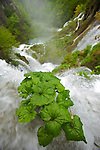 parc national des lacs de Plitvice. Plitvice national park.parc national des lacs de Plitvice..Seize lacs aux incroyables eaux cobalt sont reliés en gradins par une multitude de cascades et de chutes tumultueuses. Le tout serti dans un écrin dhêtres, de charmes, de sapins blancs et dépicéas. Cette merveille de la nature classée au patrimoine mondial de lUnesco depuis 1979 est due à la sédimentation du carbonate de calcium présent en grande quantité dans leau. .. Plitvice Lakes national park is the largest of Croatia's eight national parks and is invluded in the Unesco list since 1979. 16 lakes and hundred of cascades are hidden in a splendid forest. This nature gem has been created by a phenomenon of karst hydrography
