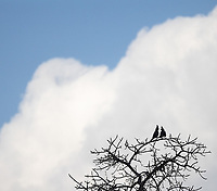A pair of Grey Go-away Birds (a.k.a., Grey Louries) perches before the vast skies of South Africa.