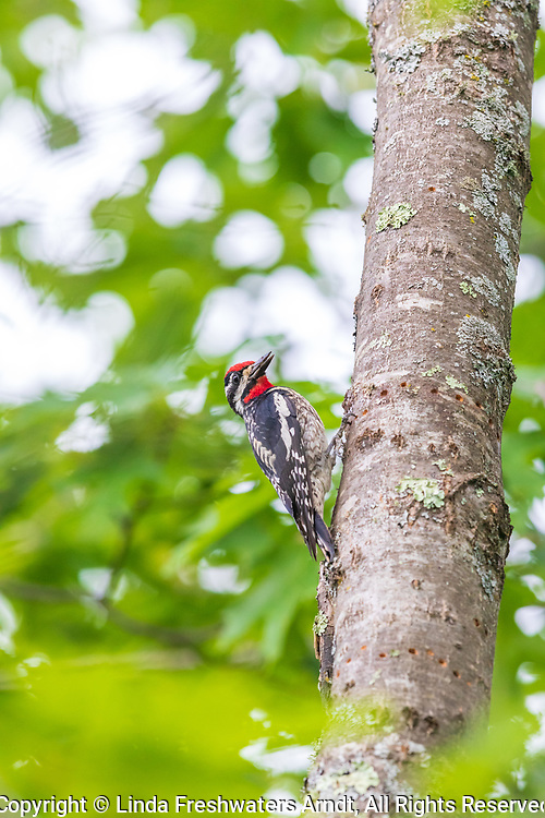 Male yellow-bellied sapsucker feeding in the summer forest of northern Wisconsin.