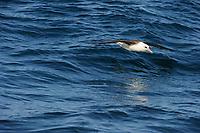 Laysan Albatross (Phoebastria immutabilis) dynamic soaring over open ocean. Gray's Harbor County, Washington. October.