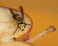 """Yellow jackets are sometimes mistakenly called """"bees"""" or more often """"meat bees,"""" as they are similar in size and appearance and both sting, but they are actually wasps."""