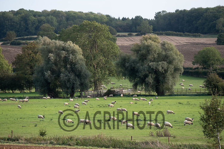 28.9.2020 Sheep grazing in Rutland<br /> ©Tim Scrivener Photographer 07850 303986<br />      ....Covering Agriculture In The