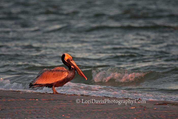 Sunrise Brown Pelican  #J15