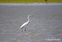 "0902-0901  Reddish Egret ""White Phase"" Wading in Marsh, Threatened species, Egretta rufescens © David Kuhn/Dwight Kuhn Photography"