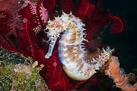 Thorny Seahorse, Hippocampus histrix, Bali, Indonesia, Pacific Ocean