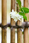 Magnolia blossom against traditional bamboo fence.  The Japanese Garden in Portland is a 5.5 acre respit.  Said to be one of the most authentic Japanese Garden's outside of Japan, the rolling terrain and water features symbolize both peace and strength. Public, city facility