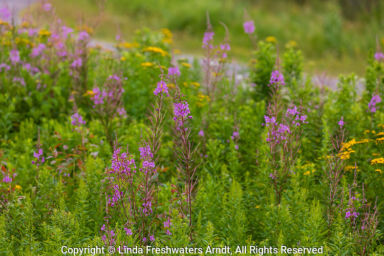 Fireweed growing next to the side of the road in northern Wisconsin.