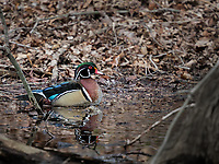 Male Wood Duck swimming in river in woods