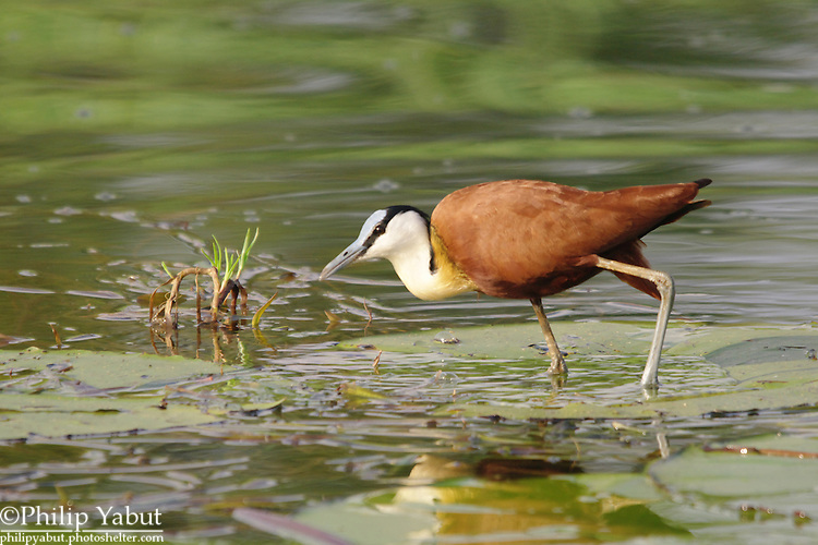 """The African jacana (Actophilornis africanus) can look like it's walking on water when standing on lily pads and other plant matter, earning the nickname """"Jesus bird.""""<br /> <br /> Zambezi River, Zambezi National Park, Zimbabwe"""