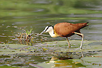 "The African jacana (Actophilornis africanus) can look like it's walking on water when standing on lily pads and other plant matter, earning the nickname ""Jesus bird.""<br />