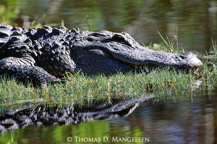 Close-up of an alligator resting on the bank at the edge of the water in Everglades National Park, Florida.