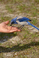 The Scrub jay, Aphelocoma coerulescens, is naturally tame and willingly eats seed from a human hand