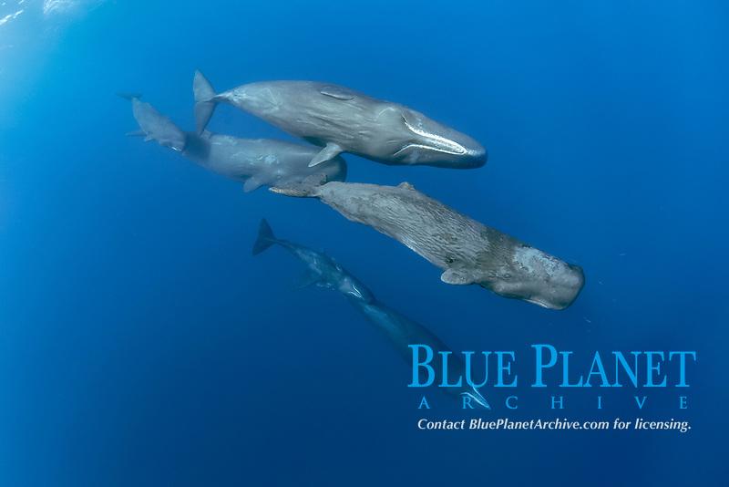 pod of sperm whales swimming, Physeter macrocephalus, Dominica, Caribbean Sea, Atlantic Ocean, photo taken under permit n°RP 16-02/32 FIS-5