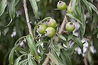 Weidenblättrige Birne, Weiden-Birne, Pyrus salicifolia, Willow-leaved Pear, Willow leaved Pear, Willowleaf Pear, Weeping Pear