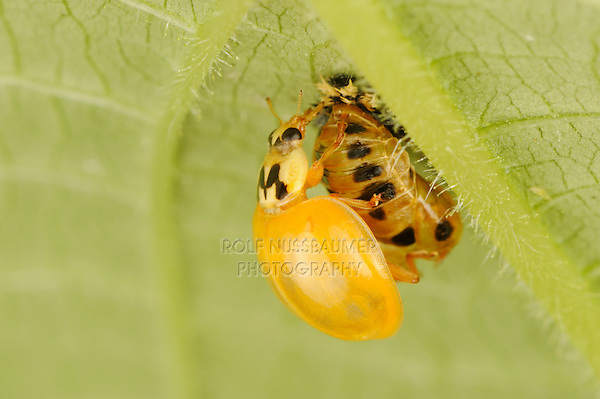 Multicolored Asian lady beetle (Harmonia axyridis), beetle newly emerged from pupa, New Braunfels, Hill Country, Central Texas, USA