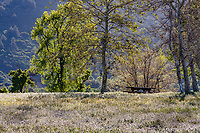 Picnic table in meadow with native Sycamore trees (Platanus racemosa); Southern California Montane Botanic Garden; The Wildlands Conservancy Oak Glen Preserve