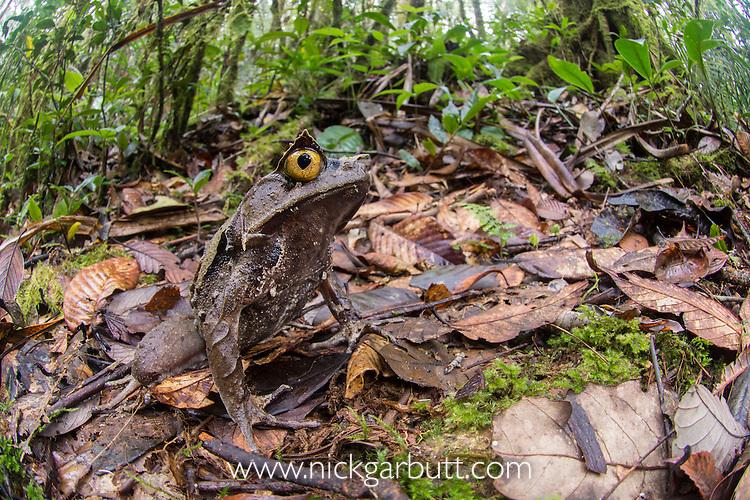 Montane Horned Frog (Megophrys kobayashii) in the leaf litter. Slopes of Mt Kinabalu (around 1400m asl), Sabah, Borneo,