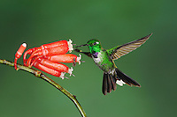 Purple-bibbed Whitetip (Urosticte benjamini), male feeding from flower,Mindo, Ecuador, Andes, South America
