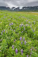 Field of lupine wildflowers in Katmai National Park along Alaska's southwest coast of the Alaska Peninsula, Aleutian mountain range in the distance.