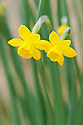 Narcissus calcicola, glasshouse, late March. A dwarf species jonquil native to limestone areas of Western Portugal, where it is rare.