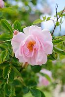Rosa 'Alba Celeste'