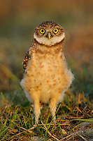 Juvenile Burrowing Owl (Athene cunicularia) of the subspecies A. c. floridana near its nest burrow. Cape Coral, Florida. March.