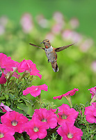 Rufous Hummingbird (Selasphorus rufus), young male on blooming petunia, Hill Country, Texas, USA