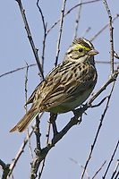 Savannah Sparrow perched on a branch