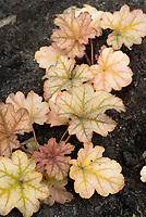 Heuchera 'Topaz Jazz', shade garden perennial foliage plant with pretty coral colored leaves