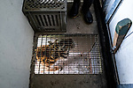Tinka the tigress is waiting for her dining room door to open. Due to a coronavirus pandemic (COVID-19), Servion Zoo is closed to the public. Servion, Switzerland, April 30, 2020.<br /> Tinka la tigresse attend qu on lui ouvre la porte de sa salle a manger. Pour cause de pandemie de coronavirus(COVID-19), le zoo de Servion est ferme au public. Servion, Suisse, le 30 avril 2020.