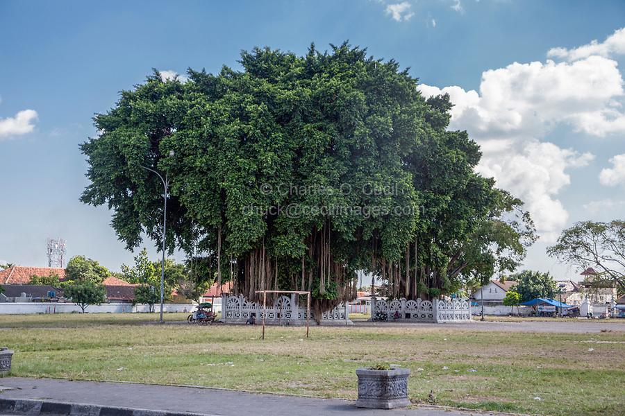 Yogyakarta, Java, Indonesia.  Baobab Tree, south of Sultan's Palace.