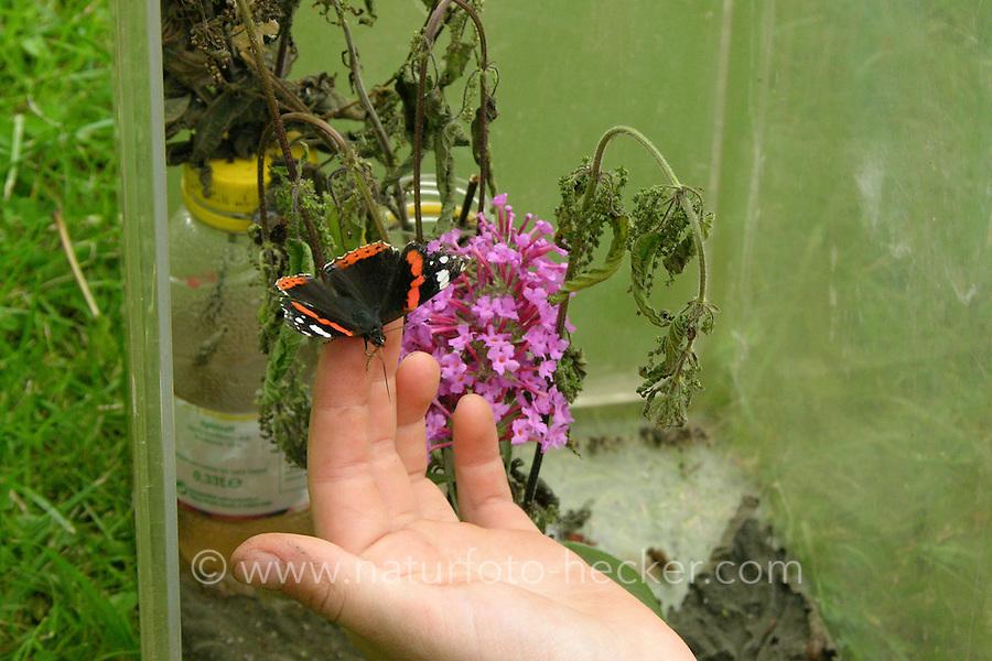 Kinder züchten Schmetterlings-Raupen, Terrarium war mit einem Strauß frischer Brennnesseln als Raupenfutterpflanze versehen, Raupe vom Admiral hat sich darin verpuppt und ist nun als fertiger Falter geschlüpft, Mädchen entnimmt ihn, um ihn freizulassen, Vanessa atalanta, red admiral