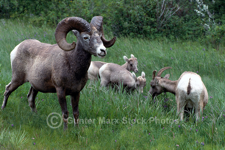 Rocky Mountain Bighorn Sheep Family - Ram, Ewe, and Lambs (Ovis canadensis) grazing in Meadow, Jasper National Park, Canadian Rockies, AB, Alberta, Canada